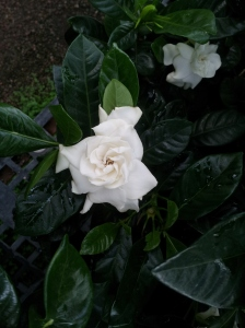 Gardenias in their full glory scream delicious perfection. The fake looking blossom appears perfect for plucking and popping in my mouth like a sugary handmade cake flower. But it is their scent that makes me feel like I am punch drunk on love.